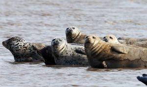 大连斑海豹