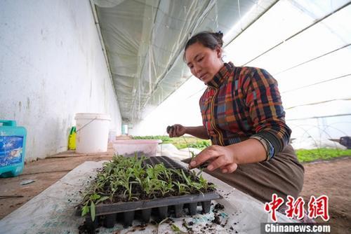 西藏产业扶贫带动23.61万贫困民众脱贫