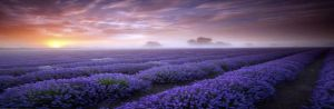 紫烟薰衣草庄园