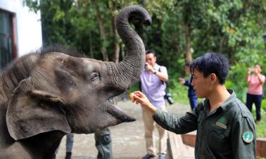 An Asian elephant's new life