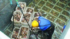 收获虾夷扇贝