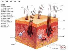 狗的皮肤结构