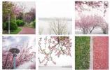 """信安湖畔,邂逅一场""""水与樱花""""的浪漫之约"""