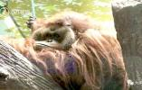 动物园一猩猩被游客喂出高血糖!