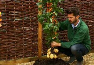 马铃薯盆栽