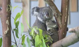 Baby koala meets public in east China
