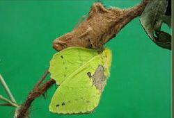 栎黄枯叶蛾