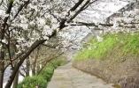 来台州府城看古城樱吹雪!这几个最佳赏樱点不容错过