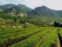 崂山绿茶产地环境图
